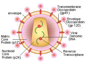 a history and structure of aids virus In 1982, the first case of aids in south africa was reported in a homosexual man who contracted the virus while in california, united states in 1988, a structure called the aids unit and national advisory group was erected within the department of health to promote awareness about hiv/aids.
